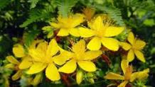 Sarı Kantaron Bitkisinin Faydaları